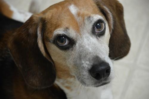 A beagle (Pixabay)