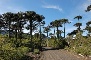 Monkey puzzle tree, Chile